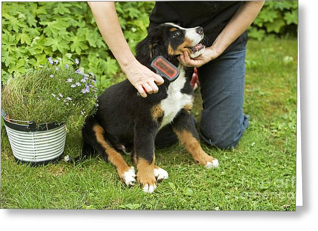 Grooming Bernese Mountain Puppy Greeting Card by Jean-Michel Labat