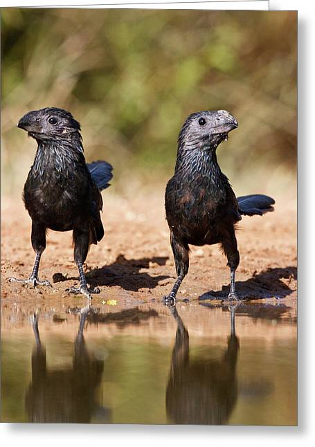 Groove-billed Ani (crotophaga Greeting Card by Larry Ditto