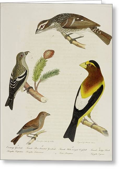 Grosbeak And Crossbill Greeting Card by British Library