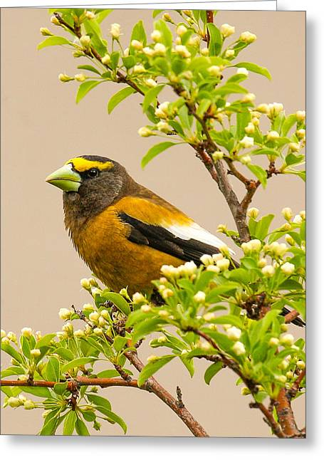 Grosbeak Greeting Card