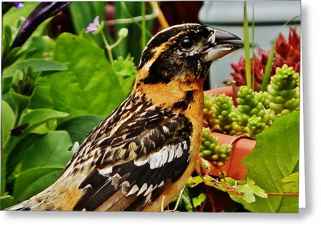 Greeting Card featuring the photograph Grosbeak Profile by VLee Watson