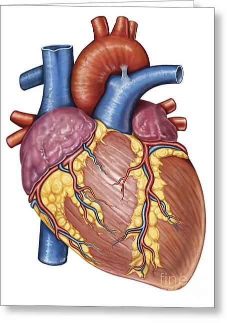 Gross Anatomy Of The Human Heart Greeting Card