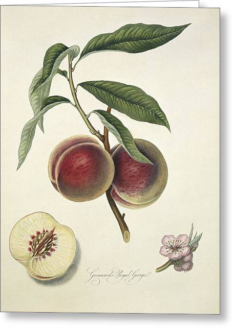 Grosse Mignon Peach (1818) Greeting Card by Science Photo Library
