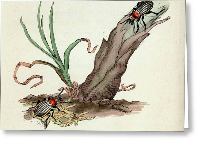 Ground Beetle Greeting Card by General Research Division/new York Public Library