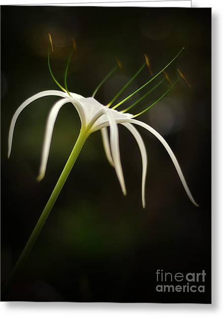 White Spider Flower Greeting Card