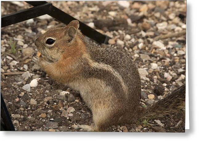 Ground Squirrel Invading My Studio Greeting Card by Gregory Scott