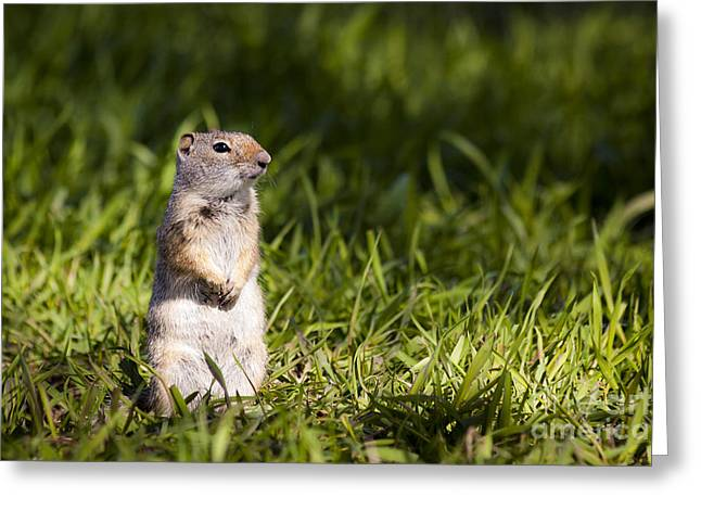 Ground Squirrel Standing In Grass Greeting Card by Mike Cavaroc