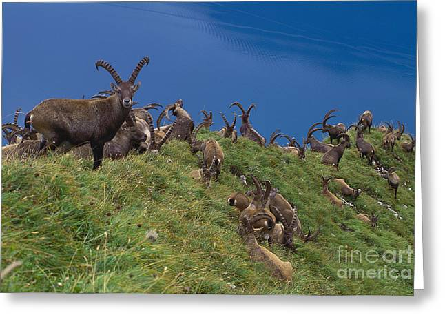 Group Of Alpine Ibex Greeting Card by Art Wolfe