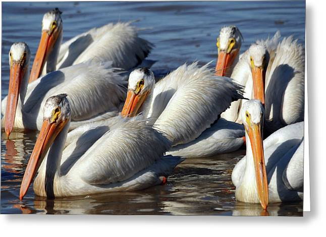 Group Of American White Pelicans Greeting Card