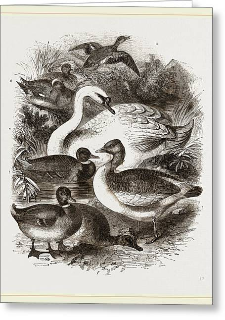 Group Of Water Fowl Greeting Card by Litz Collection