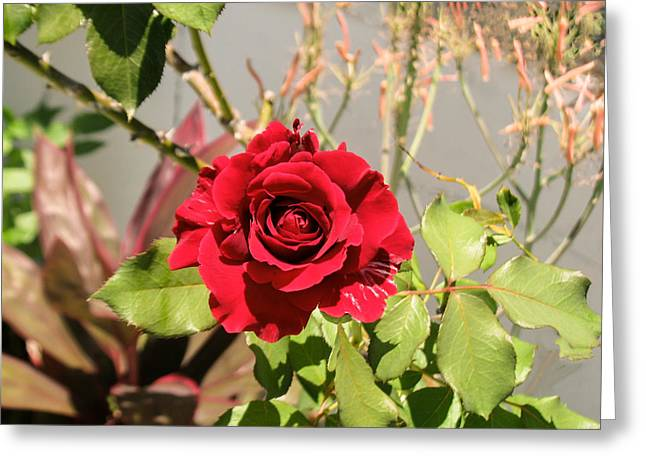 Growing Rose Greeting Card by Zina Stromberg