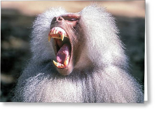Growling Dominant Male Hamadryas Baboon Greeting Card by Photostock-israel