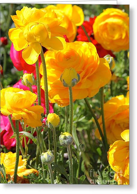Growth Of A Ranunculus Greeting Card