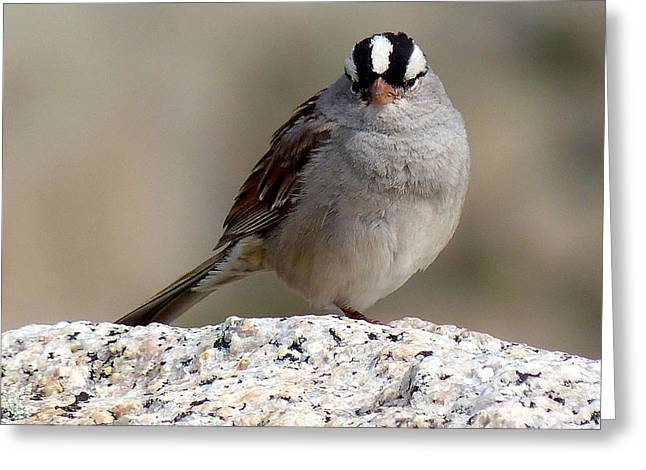 Grumpy White Crowned Sparrow Greeting Card