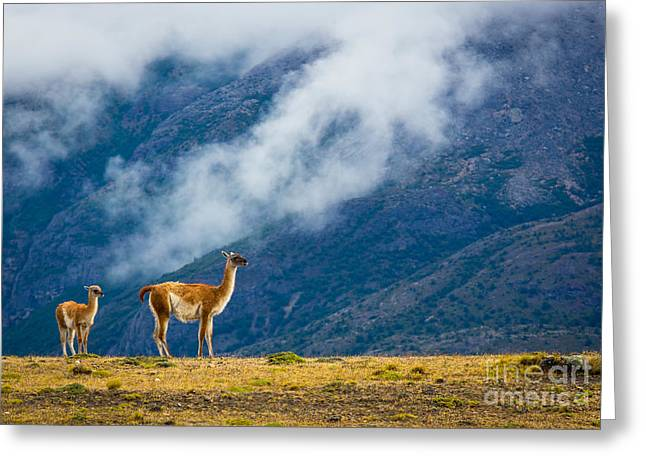 Guanaco Mother And Child Greeting Card by Inge Johnsson
