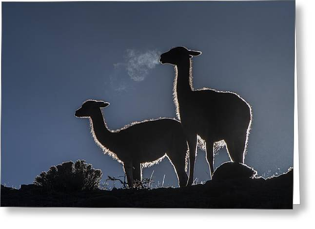 Guanaco Pair Torres Del Paine Np Greeting Card