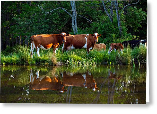 Guernsey Cows Greeting Card