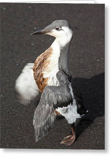 Guillemot Covered In Oil Greeting Card