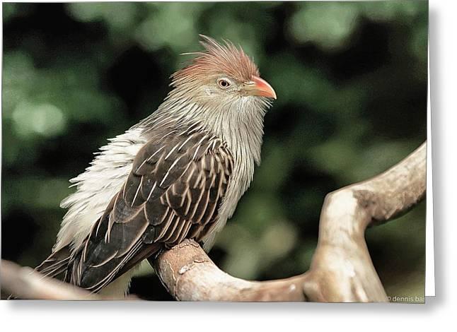 Guira Cuckoo Greeting Card