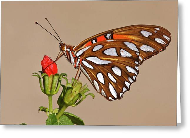 Gulf Fritillary (agraulis Vanillae Greeting Card by Larry Ditto