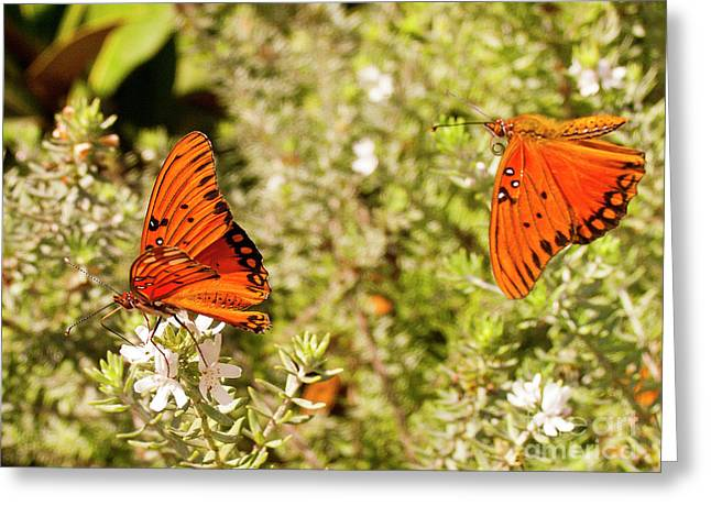 Gulf Fritillary Butterflies 1 Greeting Card