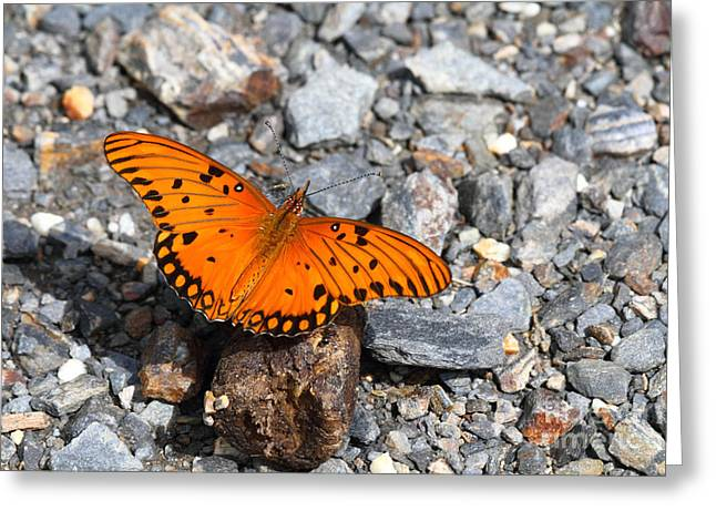 Gulf Fritillary Butterfly Greeting Card by James Brunker