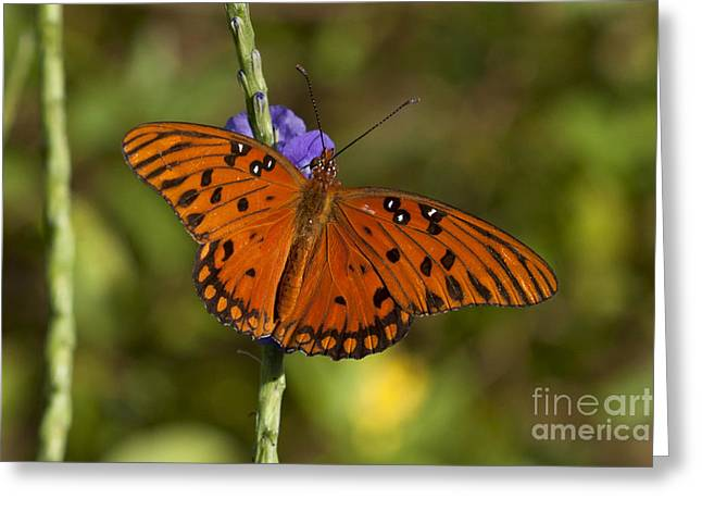 Greeting Card featuring the photograph Gulf Fritillary Butterfly by Meg Rousher