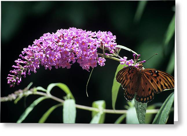 Gulf Fritillary Butterfly Greeting Card by Sally Mccrae Kuyper/science Photo Library