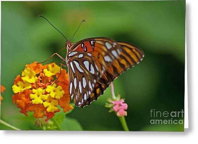 Gulf Fritillary IIi Greeting Card