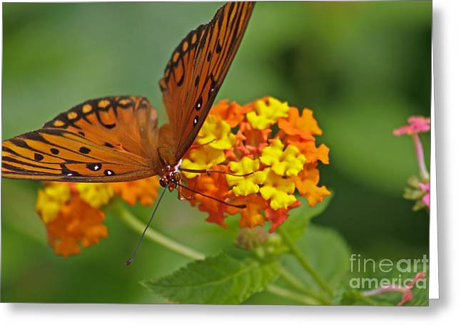Gulf Fritillary Iv Greeting Card