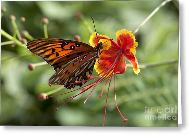 Greeting Card featuring the photograph Gulf Fritillary Photo by Meg Rousher
