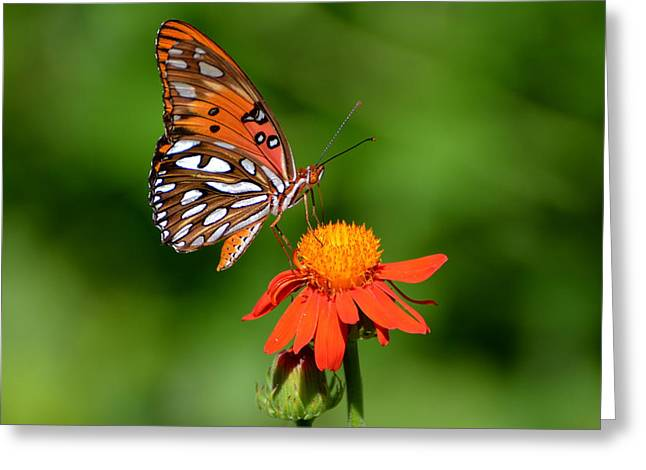 Gulf Fritillary Underwing Greeting Card