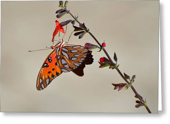 Gulf Fritillary Underwings Greeting Card