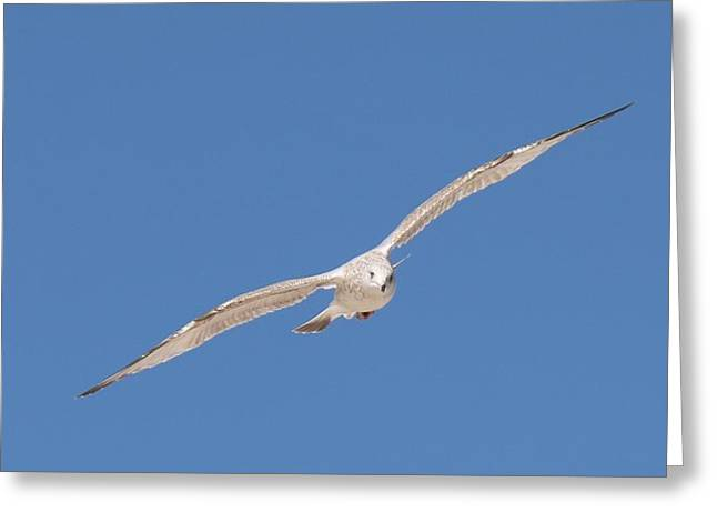 Gull In Flight - 2 Greeting Card