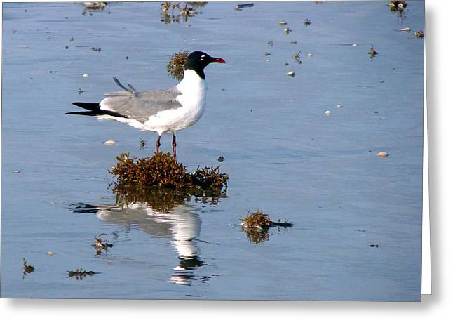 Greeting Card featuring the photograph Gull In Seaweed by Linda Cox