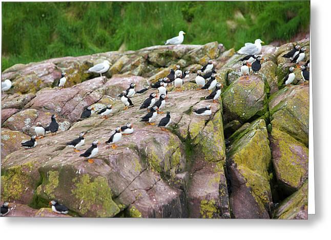 Gull Island, Witless Bay, Newfoundland Greeting Card