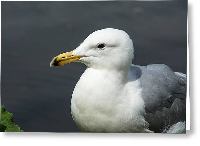 Gull Greeting Card by Michele Wright