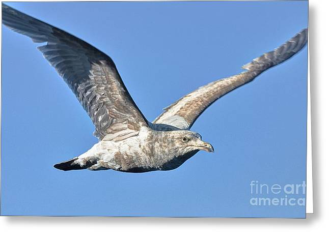 Gull Wings Greeting Card by Phillip Garcia