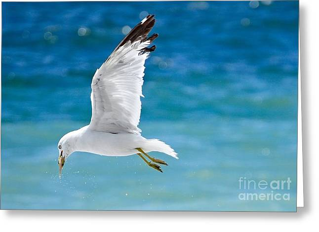 Herring Gull With Fish Greeting Card