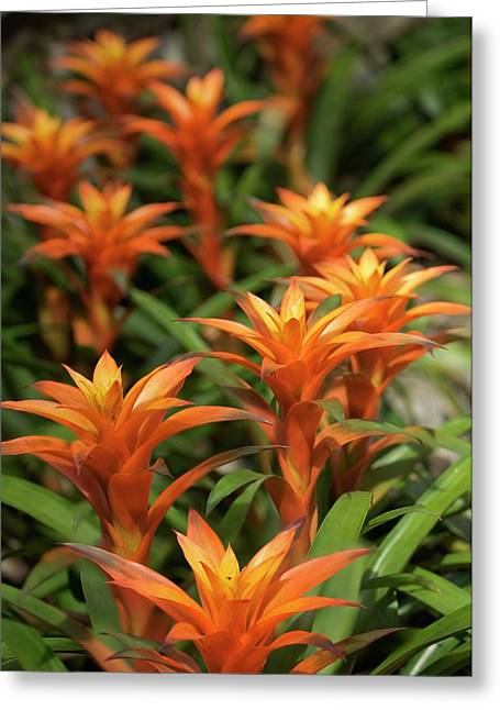 Guzmania Sanguinea Flowers Greeting Card by Maria Mosolova