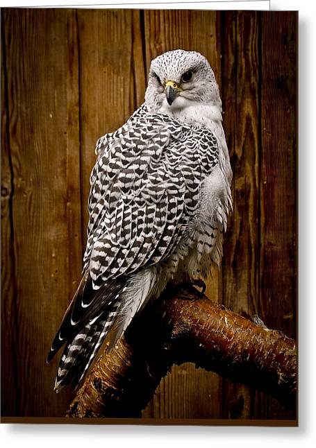 Gyrfalcon Perched Greeting Card