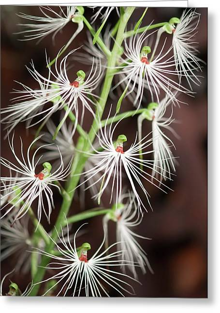 Habenaria Medusa Greeting Card