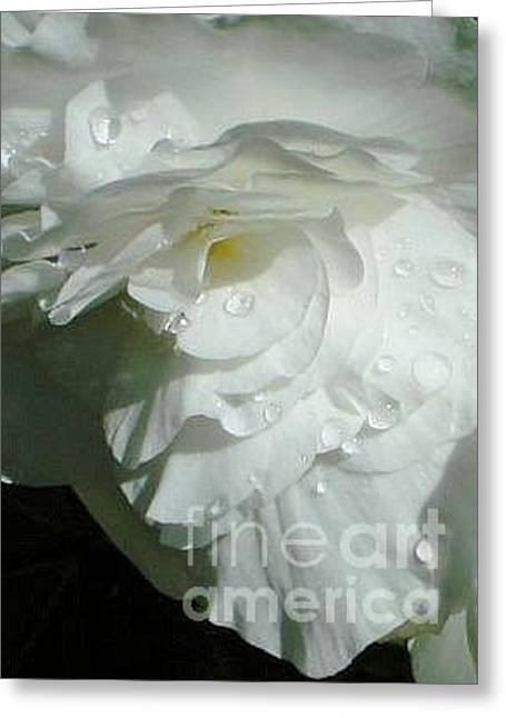 Greeting Card featuring the photograph White Begonia  by Katy Mei