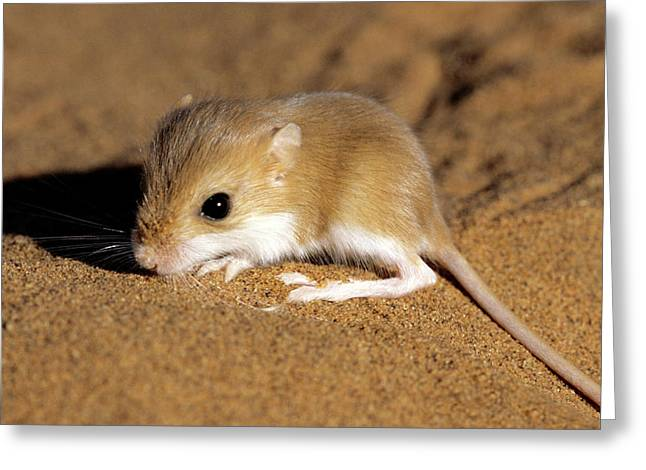 Hairy-footed Gerbil Greeting Card by Louise Murray/science Photo Library