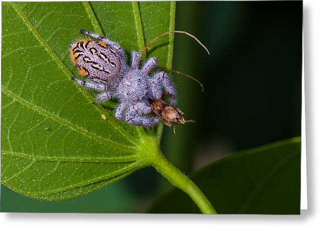 Hairy White Spider Eating A Bug Greeting Card by Craig Lapsley