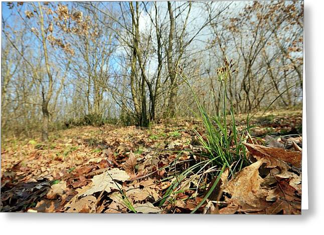 Hairy Wood-rush (luzula Pilosa) Greeting Card by Bruno Petriglia