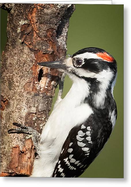 Hairy Woodpecker Greeting Card by Bill Wakeley
