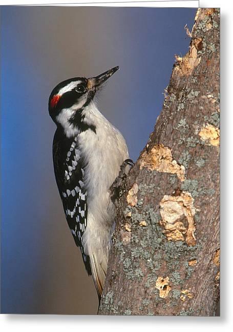 Hairy Woodpecker Greeting Card by Paul J. Fusco