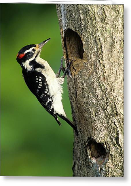 Hairy Woodpecker (picoides Villosus Greeting Card by Richard and Susan Day