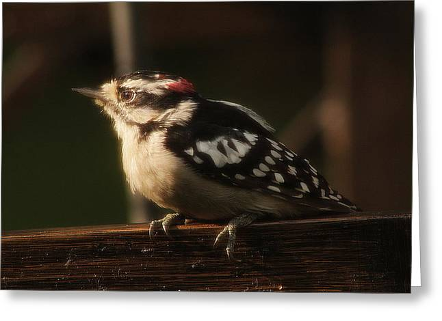 Hairy Woodpecker Greeting Card by Scott Hovind